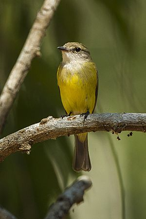 Lemon-bellied Flycatcher - Fogg Dam - Darwin S4E4152 (22319743512).jpg