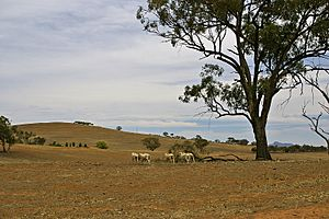 Sheep on a drought-affected paddock