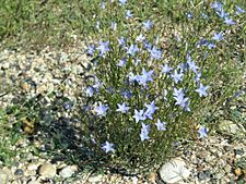 Wahlenbergia communis plant3 NWS - Flickr - Macleay Grass Man