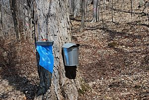 Maple sap collecting at Bowdoin Park, New York