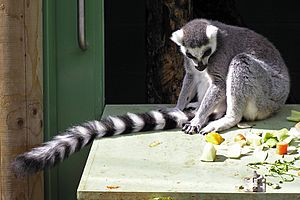 Ringtailed lemur tail