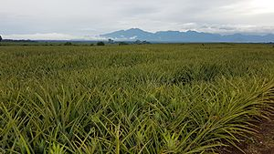 Del Monte Pineapple field at Camp Philips, Bukidnon, Philippines 03