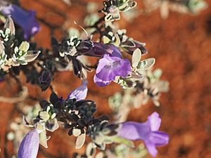 Eremophila demissa (leaves and flowers).jpg