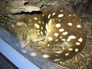 Spotted-tail quoll sleeping at Sydney Wildlife World