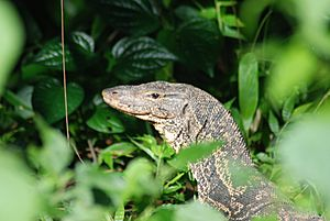 Asian water monitor (Varanus salvator salvator)