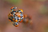 Convergent Lady Beetles, Uvas canyon CA