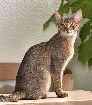 Abyssinian Tortoiseshell Tabby Cat