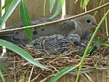 Mother dove crouching in a nest with two chicks