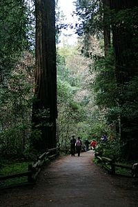 Muir Woods Path and Tree