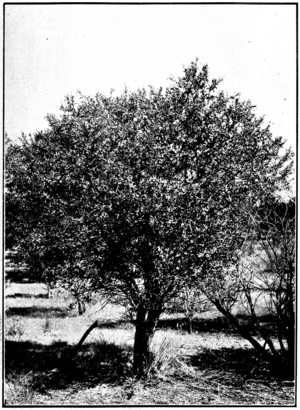 Sandalwood in Primer of Forestry Poole 1922.png