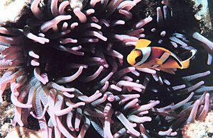 Two-banded clown fish - Amphiprion bicinctus - in sea anemone.jpg