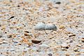 Two Least Tern Eggs in Typical Shallow Nest