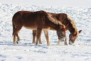 Mules leisurely enjoying the sun and the snow