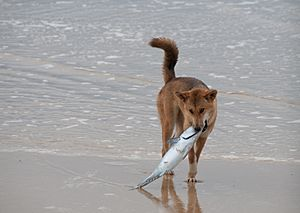 The Dingo Finds a Dead Fish