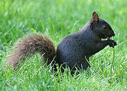 Blacksquirrelrev