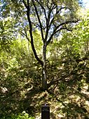 Canyon live oak in uvas canyon