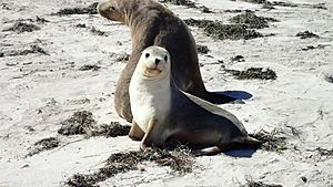 Sea Lion Mother & Cub - Pearson Island, Investigator Group Conservation Park, South Australia