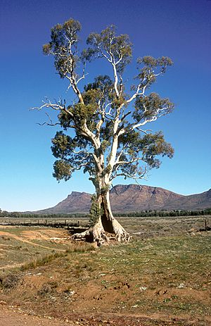 CSIRO ScienceImage 4682 Casneauxs Tree with the ramparts of Wilpena Pound in the background Flinders Ranges SA 1992.jpg