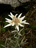 Edelweiss in cold valley