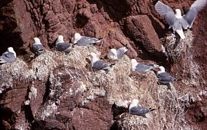 Kittiwakes (Rissa tridactyla), Bullers of Buchan - geograph.org.uk - 1072631