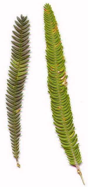 Banksia brownii leaf variations2