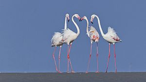 Greater flamingos at Kutch