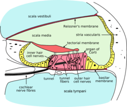 Cochlea-crosssection.png