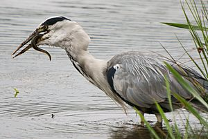 Grey Heron, Leighton Moss