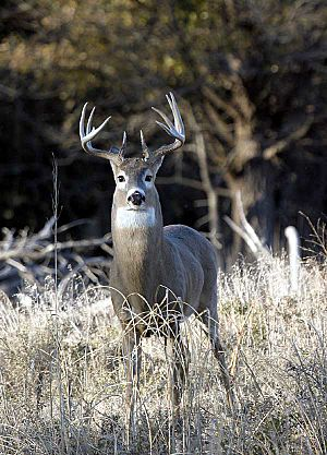 Quivira-Whitetail-Buck