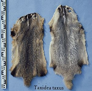 Taxidea taxus (American badger) fur skin