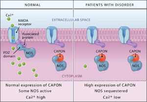 CAPON Binds Nitric Oxide Synthase, Regulating NMDA Receptor–Mediated Glutamate Neurotransmission