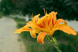 Hemerocallis fulva - flower view 02