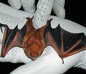 The image depicts an eastern red bat, recently captured by a researcher