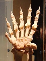 Giant panda Left hand Bone 2