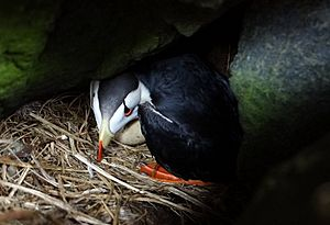 Horned Puffin with egg on Aiktak Island by Mikaela Howie USFWS