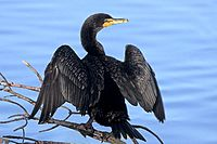 Double-crested Cormorant at Ding Darling NWR