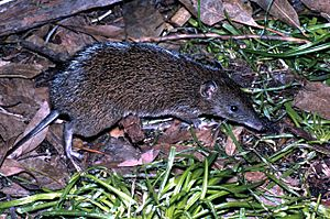 Southern Brown Bandicoot Victoria