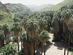 Washingtonia filifera in Palm Canyon
