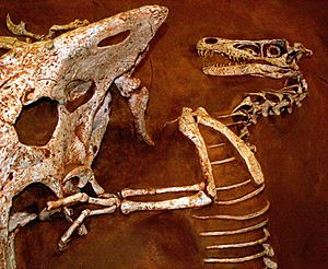 Velociraptor and Protoceratops - Fighting dinosaurs