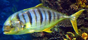 Golden trevally Barcelona Aquarium.jpg