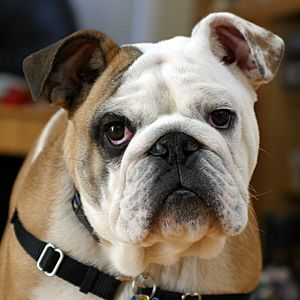 Clyde The Bulldog
