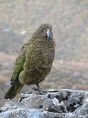 Kea on rock while snowing