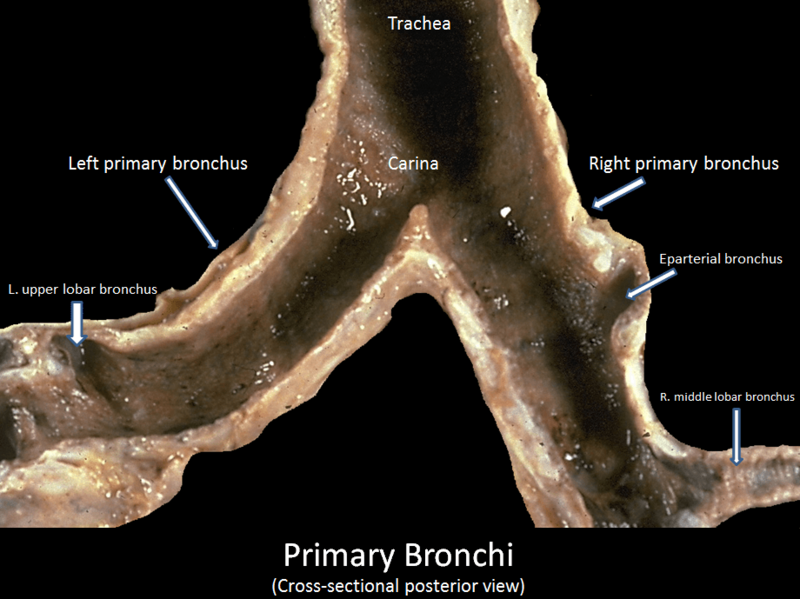 Primary bronchi cross-sectional posterior view