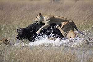 Lions hunting Africa