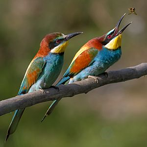Pair of Merops apiaster feeding detail