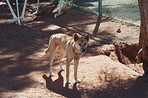 1208 To Alice Springs - Baby Dingo