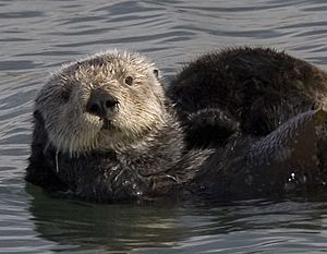 Sea otter cropped