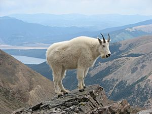 Mountain Goat Mount Massive