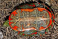 An overturned turtle on grass: coloring is bright red with black and white Rorshach-like patterns.