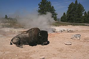Image-American bison rests at hot spring in yellowstone national park 1
